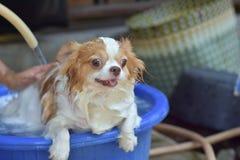 Chihuahua in blauwe badkuip Stock Fotografie