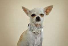 Chihuahua-Blinzeln Stockfoto