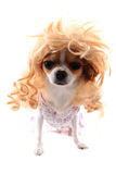 chihuahua with blonde wig (hair) Royalty Free Stock Photography