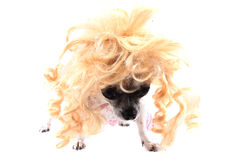chihuahua with blonde wig (hair) Royalty Free Stock Photos