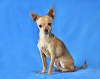 Chihuahua blu Fotografia Stock