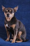 Chihuahua on blue. A chihuahua sitting on a blue background Royalty Free Stock Images