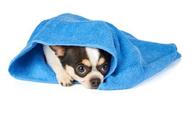 Chihuahua in blue towel Stock Image