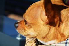 Chihuahua and blurred background. Beautiful chihuahua gaze outside the window, traveling by train, close up Royalty Free Stock Image
