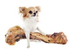 Chihuahua and bone Royalty Free Stock Photography