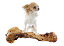 Chihuahua and bone Stock Photo