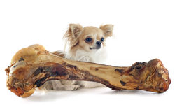 Chihuahua and bone Royalty Free Stock Photos