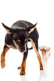 Chihuahua and bone isolated on white background Royalty Free Stock Photo