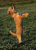 Chihuahua bonito Fotos de Stock