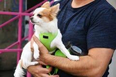 Chihuahua bonito pequena do c?o nas m?os dos propriet?rios imagens de stock