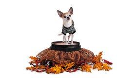 Chihuahua bonito que está no tambor com a saia e o t-shirt da Web de aranha isolados no branco Foto de Stock Royalty Free