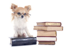 Chihuahua and books Stock Images