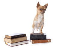 Chihuahua and books Royalty Free Stock Image