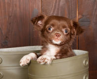 Chihuahua in a boot Stock Photography