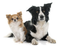 Chihuahua and border collie Stock Photos