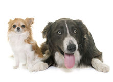 Chihuahua and border collie Stock Photo