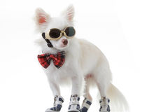 Chihuahua bow and dark glasses Royalty Free Stock Images