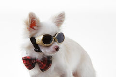 Chihuahua bow and dark glasses Royalty Free Stock Image