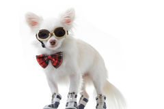 Chihuahua bow and dark glasses Stock Image