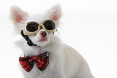 Chihuahua bow and dark glasses Royalty Free Stock Photos