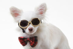 Chihuahua bow and dark glasses Stock Photo