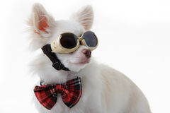 Chihuahua bow and dark glasses Royalty Free Stock Photography