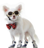 Chihuahua bow and dark glasses Royalty Free Stock Photo