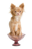Chihuahua and a bowl Stock Photo