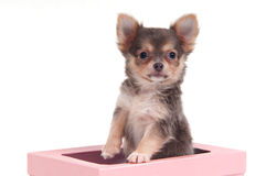 Chihuahua in a box Stock Image