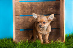 Chihuahua in box isolated on blue background dog domestic animal pet Royalty Free Stock Photo