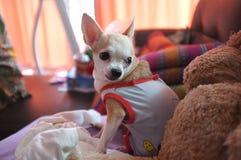 Chihuahua branca bonito no sofá, sentindo só Foto de Stock