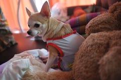 Chihuahua branca bonito no sofá, sentindo só Fotografia de Stock