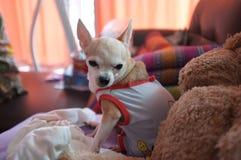 Chihuahua branca bonito no sofá, sentindo só Imagens de Stock Royalty Free