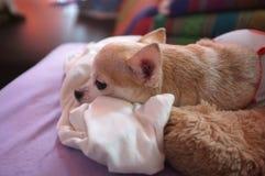 Chihuahua branca bonito no sofá, sentindo só Foto de Stock Royalty Free
