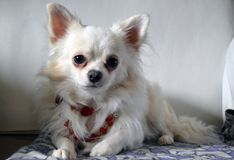 Chihuahua branca na colar vermelha do vintage imagens de stock royalty free
