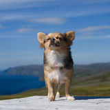 Chihuahua breathing fresh air against Northern Norway landscape Royalty Free Stock Images