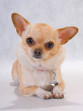 Chihuahua breed female. On white background Royalty Free Stock Photo