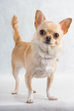 Chihuahua breed female Stock Photo