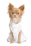 Chihuahua bride Royalty Free Stock Photography