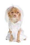 Chihuahua bride. Chihuahua puppy dressed as bride in white Stock Image
