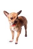 Chihuahua Brindle imagens de stock