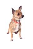 Chihuahua Brindle immagine stock libera da diritti