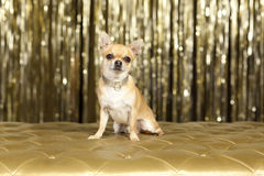 Chihuahua brown dog. With silver collar Royalty Free Stock Images