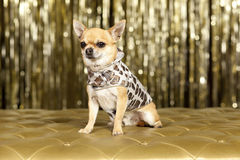 Chihuahua brown dog. In chip clothes Royalty Free Stock Photos