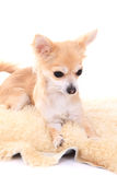 Chihuahua Stock Images