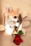 Chihuahua and brown paper hole with rose Stock Photography