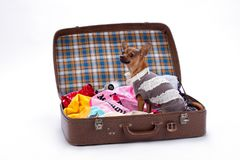 Chihuahua in brown travel suitcase. Cute russian toy in open travel bag with clothes isolated on white background. Journey and rest concept Royalty Free Stock Photos