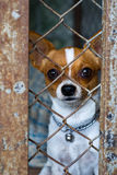 Chihuahua. Brown and white chihuahua  was locked in a cage Royalty Free Stock Image