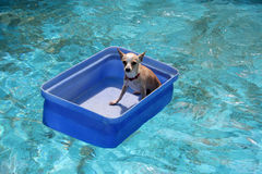 Chihuahua in a Bucket. Inside a pool Stock Photography