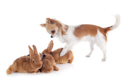 Chihuahua and bunnies Royalty Free Stock Photo